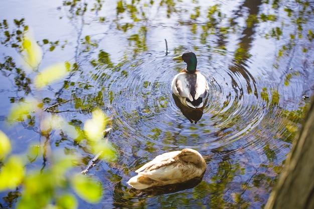 Dwie kaczki pływają w jesiennym stawie, woda odbija błękitne niebo i liście z góry