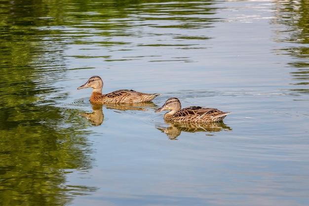 Dwie kaczki pływają wzdłuż rzeki, w której odbijają się drzewa