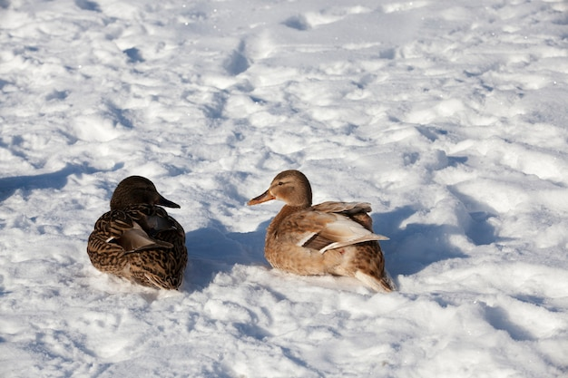 Dwie kaczki zimujące w europie, sezon zimowy z dużą ilością śniegu i mrozu, kilka kaczek mieszka w mieście nad rzeką, zimą są karmione przez ludzi
