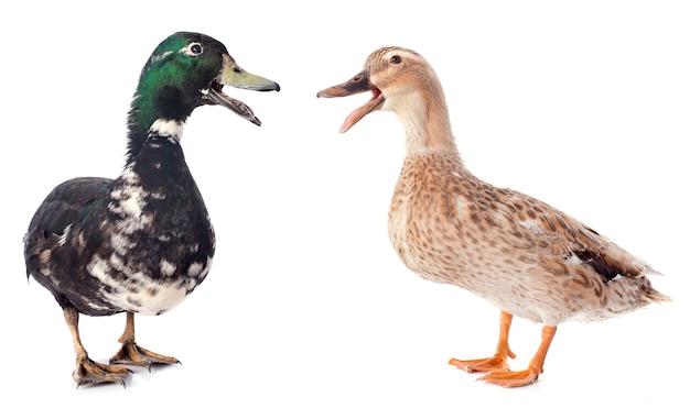 Dwie kaczki