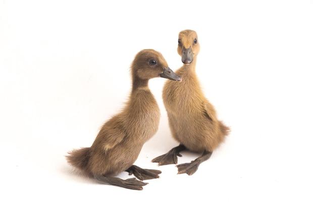 Dwie kaczuszki kaczka indyjska