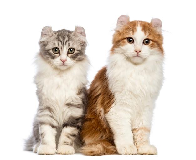 Dwie kocięta rasy american curl (3 miesiące) siedzą i patrzą
