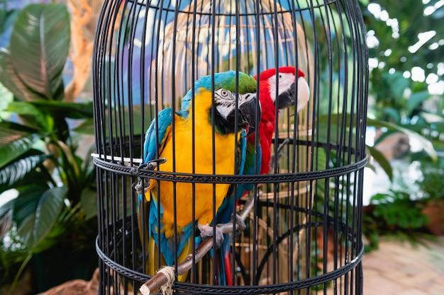 Dwie kolorowe papugi siedzą w czarnej klatce