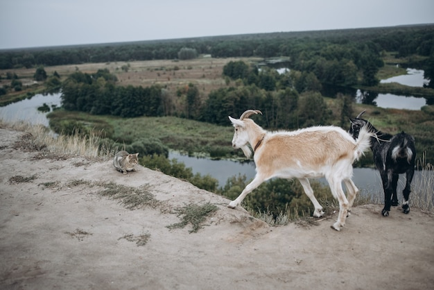 Dwie kozy i kot w naturze