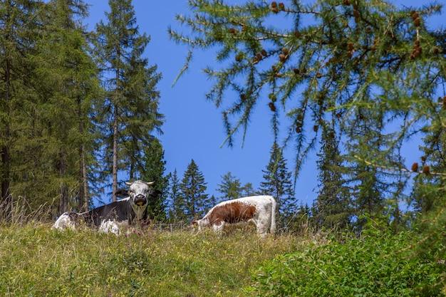 Dwie krowy odpoczywają na trawie na wysokogórskiej łące we włoskich dolomitach.