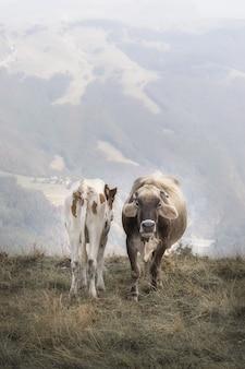 Dwie krowy w alpach stojących przed kamerą
