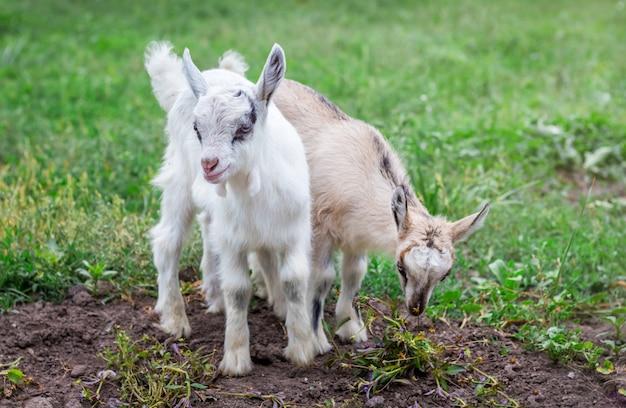 Dwie małe kozy pasą się w ogrodzie na zielonej trawie