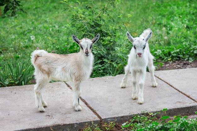 Dwie małe kozy w gospodarstwie. hodowla zwierząt domowych w gospodarstwie