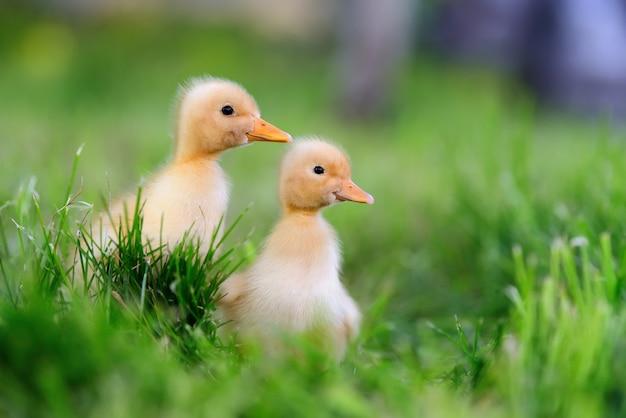 Dwie małe żółte kaczątko na zielonej trawie