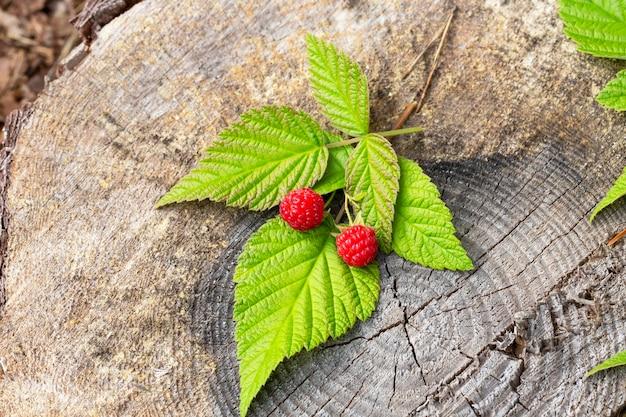 Dwie maliny na gałęzi z zielonymi liśćmi leżą na pniu w lesie. czerwone jagody leśne