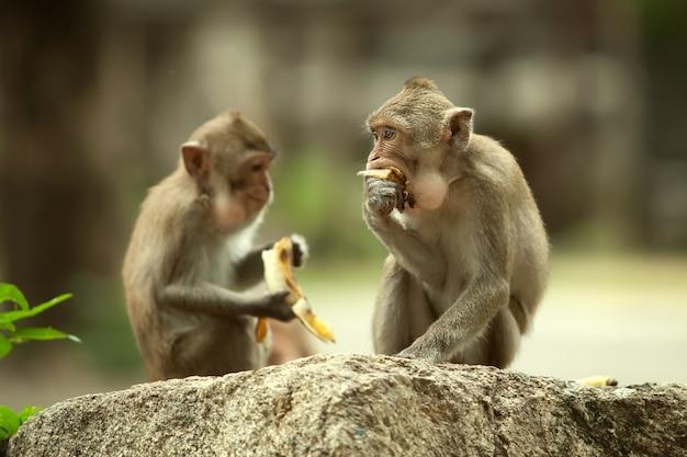 Dwie małpy siedzą na kamieniu. zjada banany