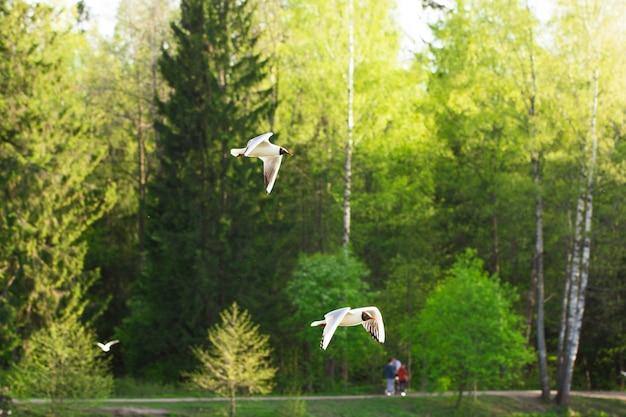 Dwie mewy latają na tle zielonych drzew w słoneczny dzień zielony krajobraz w świetle dziennym