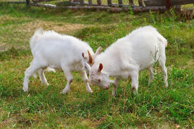Dwie młode białe kozy walczą na zielonym trawniku