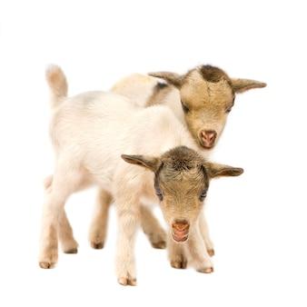 Dwie młode kozy karłowate izolowane, te zdjęcia zostały zrobione w beninie, ich czerwone zabarwienie pochodzi z lokalnej gliny jak kurz.