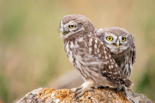 Dwie młode małe sowy siedzi na kamieniu