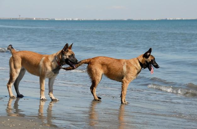 Dwie młode malinois na plaży