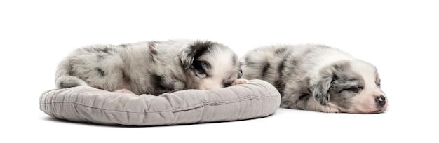 Dwie młode szczeniak mieszaniec spanie w łóżeczku na białym tle