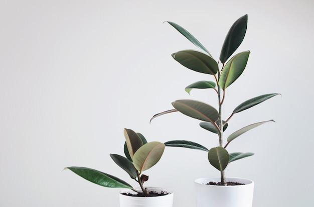 Dwie nowoczesne rośliny doniczkowe z rośliną ficus w białej doniczce. ficus elastica burgundy lub rubber plant