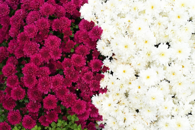 Dwie odmiany chryzantemy wielokwiatowej brandove white i talisman