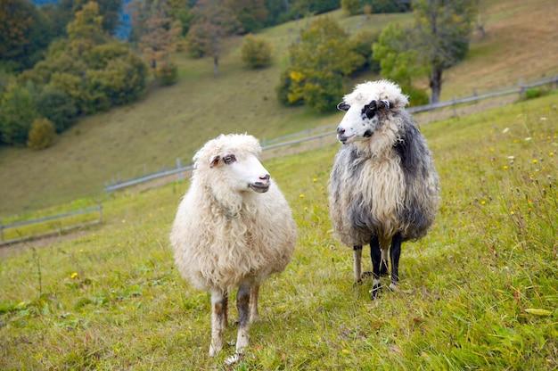 Dwie owce na pastwisku górskim płaskowyżu (karpaty, ukraina).