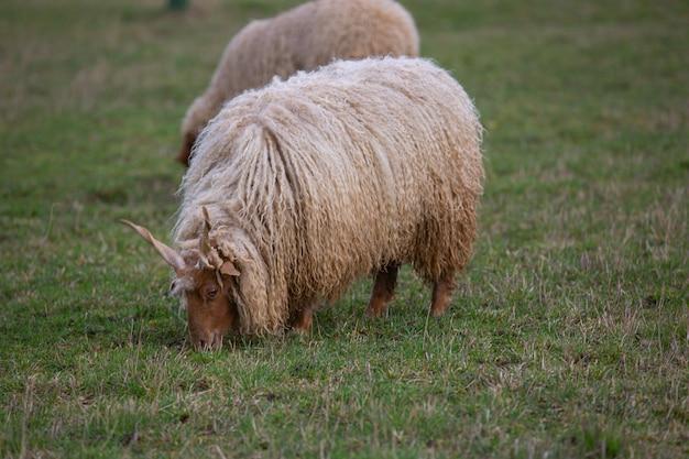 Dwie owce z rogami (owca racka, ovis) pasące się na łące