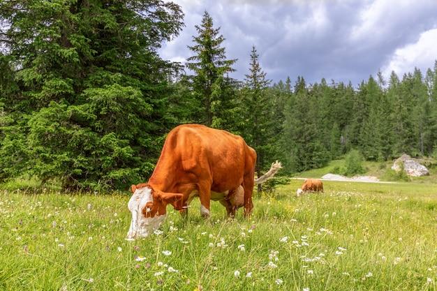 Dwie piękne czerwone krowy spokojnie szczypią trawę na malowniczej alpejskiej łące.