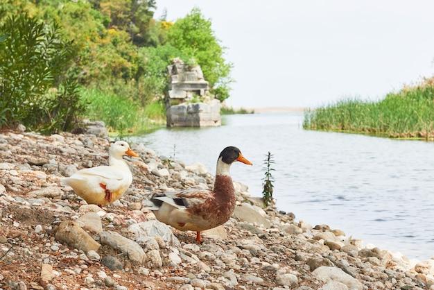 Dwie piękne kaczki na jeziorze na skałach.