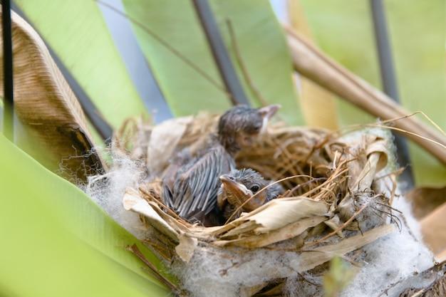 Dwie pisklęta w gnieździe czekają na jedzenie od matki.