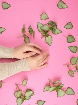 Dwie ręce kobiece i świeże zielone liście rośliny na różowym tle