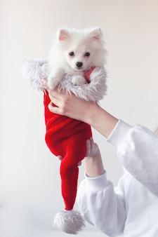 Dwie ręce w białej kurtce trzymają małego białego psa pomorskiego szczeniaka w czerwonym kapeluszu świętego mikołaja. koncepcja nowego roku i bożego narodzenia.