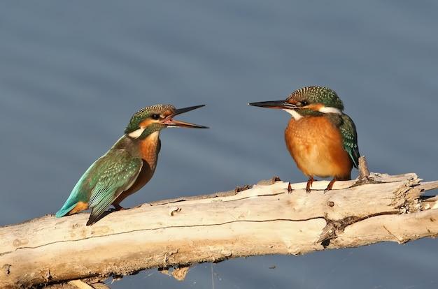 Dwie samice zimorodka zwyczajnego rozmawia na dzienniku.