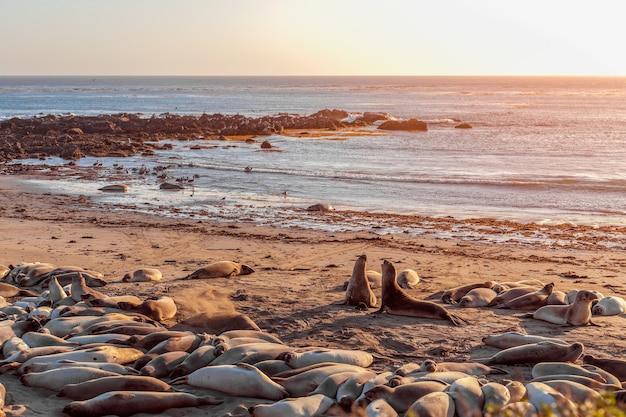 Dwie słonie morskie walczą i wyją na siebie w elephant seal vista point, san simeon, kalifornia, usa.