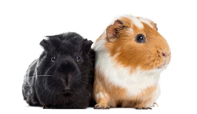 Dwie świnki morskie obok siebie