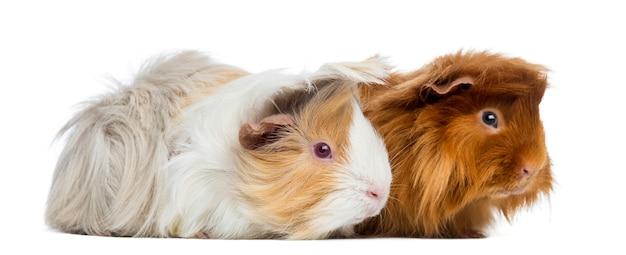 Dwie świnki peruwiańskie na białym tle