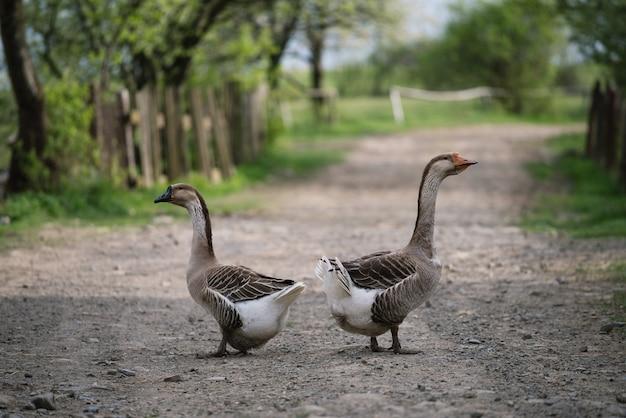 Dwie szare gęsi z gospodarstwa domowego na wiejskiej drodze. udomowione ptactwo wodne