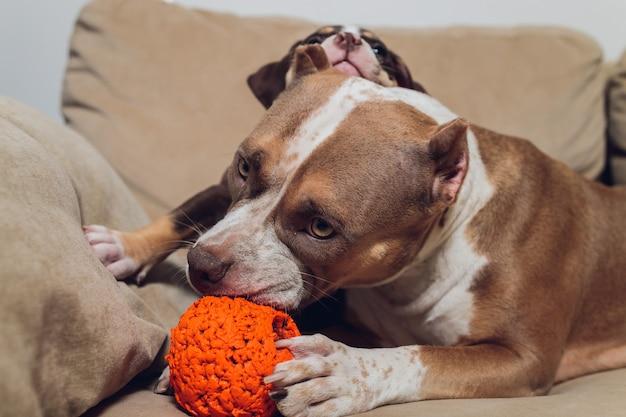 Dwie urocze szczenię bully i bully na kanapie w domu.