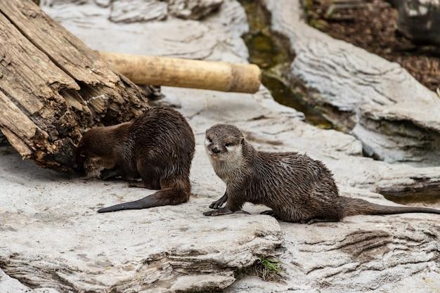 Dwie urocze wydry rzeczne w pobliżu wody
