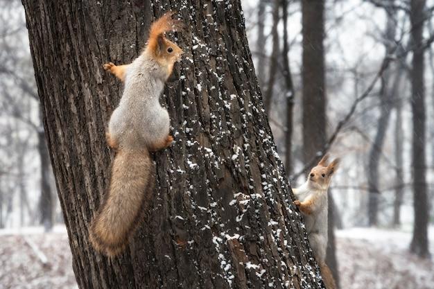 Dwie wiewiórki bawiące się na pniu drzewa w zimie