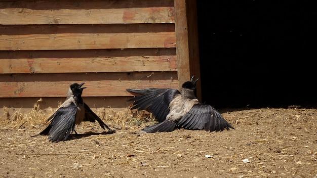 Dwie wrony w zabawnych sytuacjach