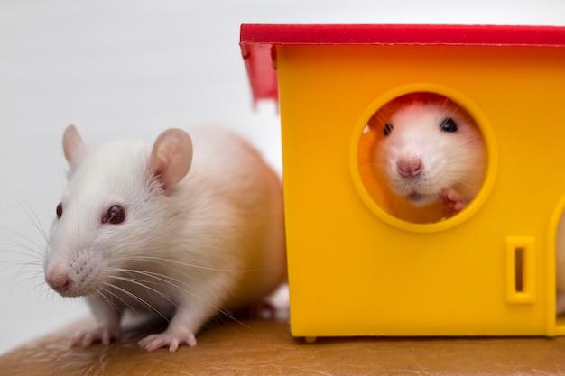 Dwie zabawne domowe szczury domowe i dom z zabawkami.