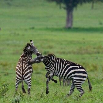 Dwie zebry bawią się ze sobą. kenia. tanzania. park narodowy. serengeti. masajowie mara.