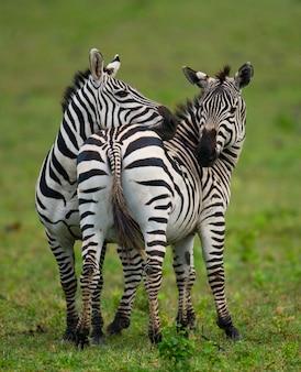 Dwie zebry na sawannie. kenia. tanzania. park narodowy. serengeti. masajowie mara.