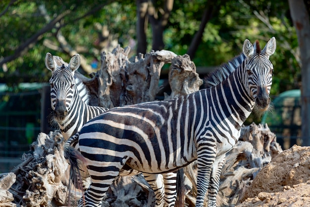 Dwie zebry patrzące prosto w kamerę na sawannie. bliska portret rodziny zebry stojąc na polu. selektywny strzał fokus zebry źrebię, zebra dziecko na pustyni w afryce.