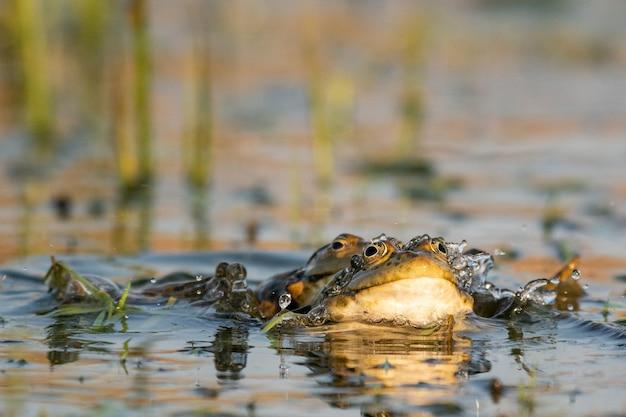 Dwie zielone żaby bagienne w wodzie