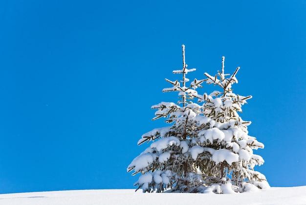 Dwie zimowe samotne ośnieżone jodły na zboczu góry na tle błękitnego nieba