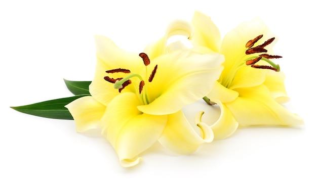 Dwie żółte lilie na białym tle.