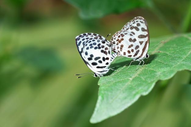 Dwoisty śliczny motyl na zielonych liściach w ogródzie