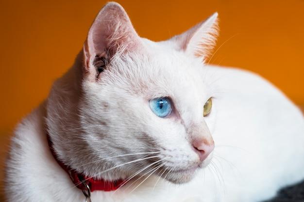 Dwubarwne oczy kota.