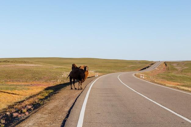 Dwugarbny wielbłąd stoi na drodze, pustynia gobi