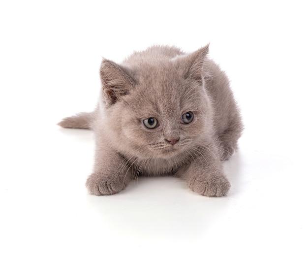 Dwumiesięczny kotek brytyjski na białym tle